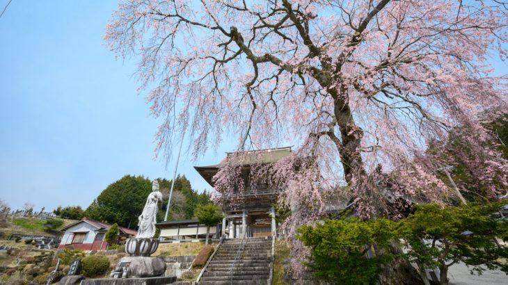 瑞光院の枝垂れ桜
