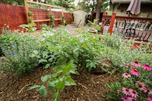 Perennial plantings and shrubs with trellis screen and climbing vines in the background.