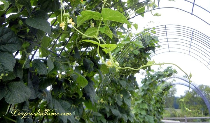 Building A Strong Wind & Weather-Resistant Trellis, young cucumbers, baby cukes, garden, gardening, vining squash, spines on cucumbers, climbing vines, grow cantaloupes, melons, squash, gourds, climbing roses, vegetables grow upright, staking, vining plants, heavy guage, cattle panels,Gurney seeds, 'Straight Eight', cucumbers, pole beans, strong plants, honeydew, cantaloupe, heavy fruit, butternut, easy picking, easy harvest, disease resistant, archway, arch, panel arbors, shady arbor,