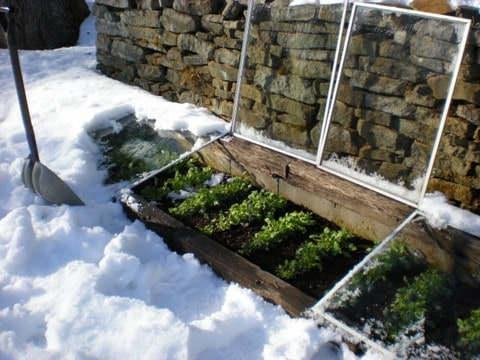 Choosing A Cold Frame That Works for You & 5 Plants That Defy the Snow, Italian flat-leaf parsley in the snow, micro-climate, solar energy, garden in winter, cold frame in snow