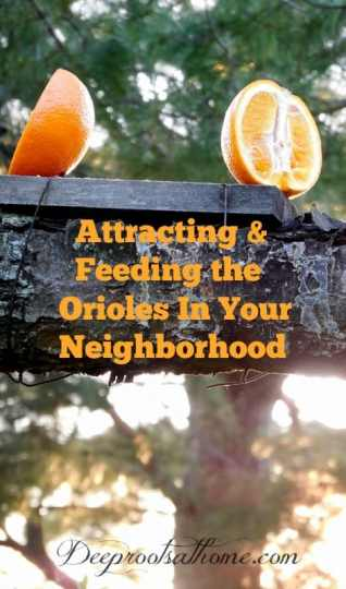 Attracting and Feeding the Orioles In Your Neighborhood, feeding Baltimore or northern orioles, oranges, fruit, grape jelly, bird feeder, birds, feeding Baltimore or northern orioles, oranges, fruit, grape jelly, bird feeder, umbrella feeder