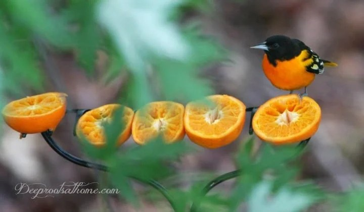 Attracting and Feeding the Orioles In Your Neighborhood, feeding Baltimore or northern orioles, oranges, fruit, grape jelly, bird feeder