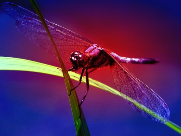The red dasher dragonfly: 'Its body was whirling and swirling in a dizzying bright blur in the wind'