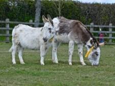donkeys - 20