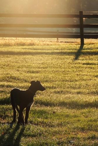 Breeder Referral – The Scottish Deerhound Club of America