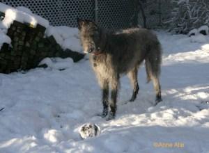 Deerhound and ball photo taken by Anne Alie.