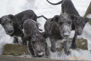 Photo of Deerhound puppies taken by Miranda Levin