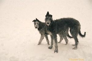 Deerhound puppies photo taken by Susan Trow