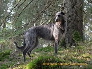 Photo of the Deerhound Skorpan by Elizabeth Kabdebo Nordhammer