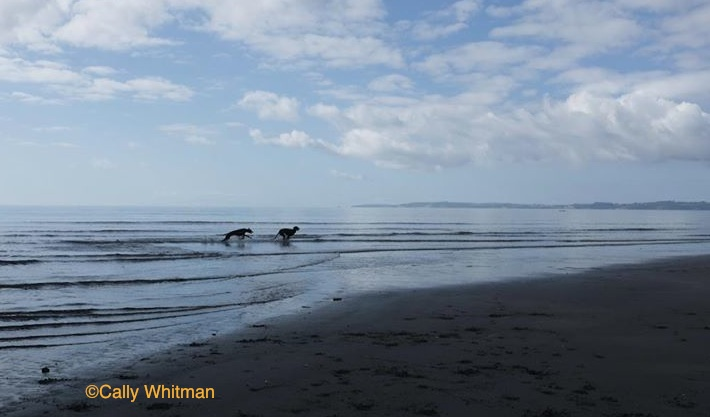 Photo of Deerhounds by Cally Whitman.