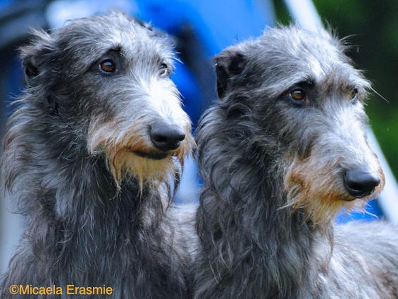 Photo of Deerhounds by Micaela Erasmie.