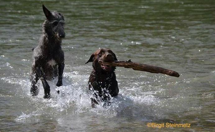 Photo by Birgit Steinmetz of a Deerhound and Labrador Retriever.