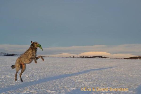 Photo of Deerhound at Røros by Eva and Svend Svendsen