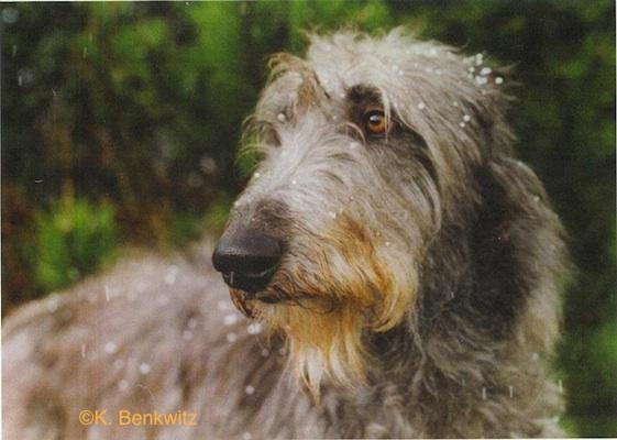 Photo of Deerhound by K. Benkwitz.