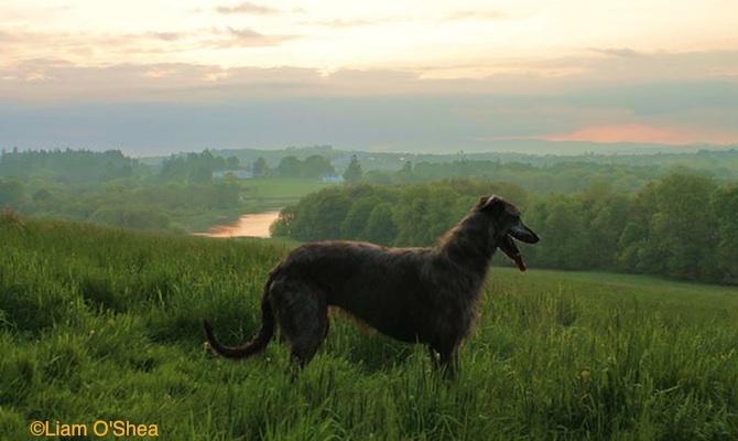 Photo of Obie, Deerhound-Greyhound cross, by Liam O'Shea