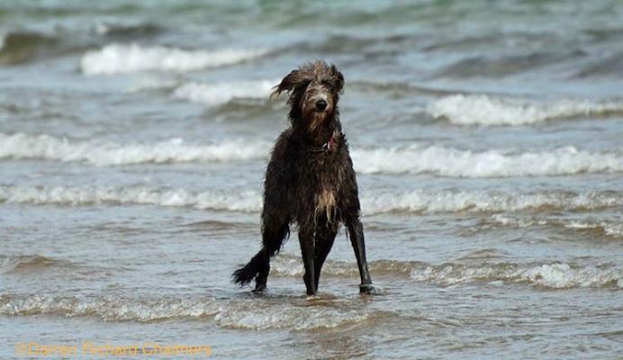 Photo of Deerhound by Darren Richard Chalmers