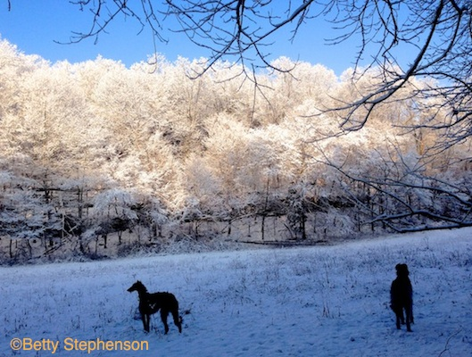 Photo of Deerhounds by Betty Stephenson