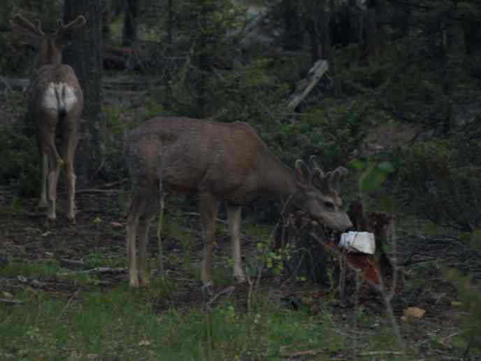 how to attract a deer fast in Us