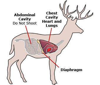 Deer inside diagram circuit wiring and diagram hub diagram of deer body simple electronic circuits u2022 rh wiringdiagramone today deer anatomy diagram deer vital organs diagram ccuart Images