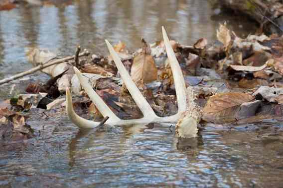 how-long-does-a-whitetail-deer-stay-pregnant