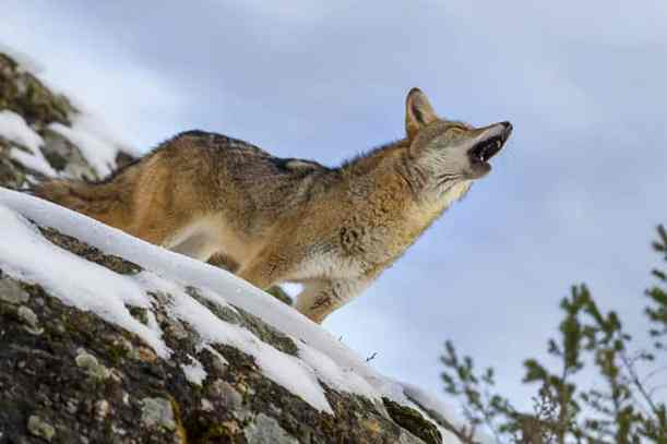 A-Coyote-searches-for-a-meal Predator Hunt Like a Pro: How to Attract Coyote