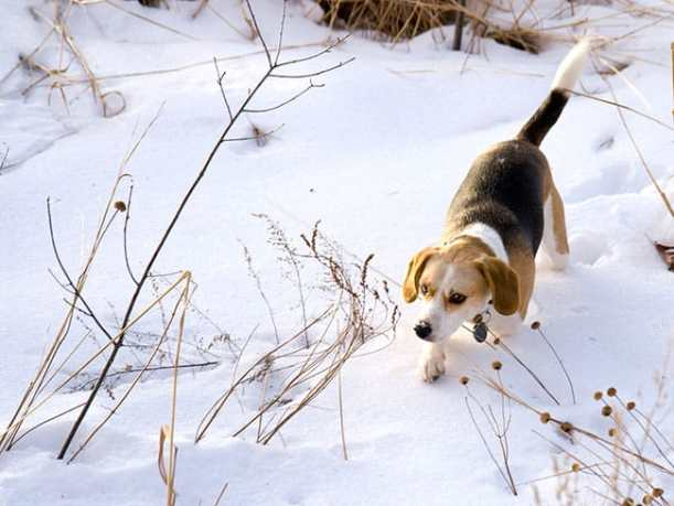 Beagle Hunting A Rabbit In The Snow