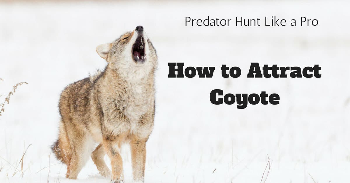 How to Attract Coyote