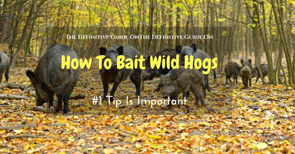 How To Bait Wild Hogs