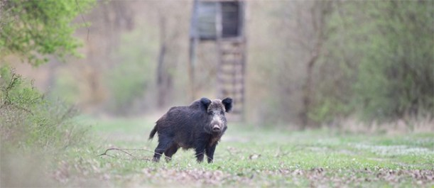 how to bait for wild hogs
