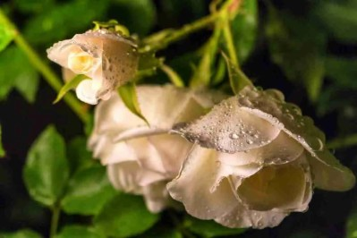 Print of a Family of Wet White Roses Photo