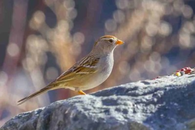 Print of a Female Sparrow Bird on a Rock Photo
