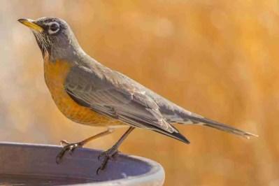 Print of an American Robin Bird Drinking Photo