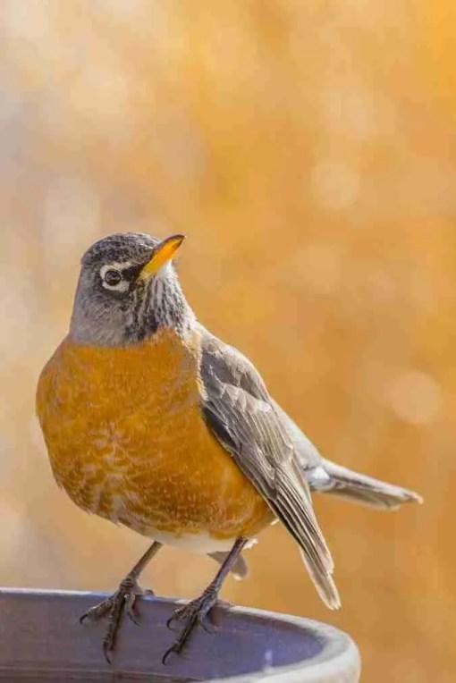 Print of an Orange Chested American Robin Bird Photo