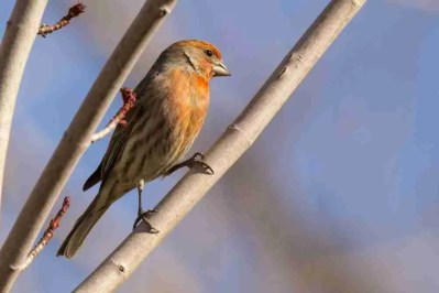 Photograph of Red Chested Male Finch