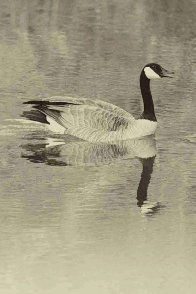 Print of a Canadian Goose Swimming Photo