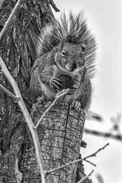 Print of a Squirrel Eating a Truffle for Breakfast Photo