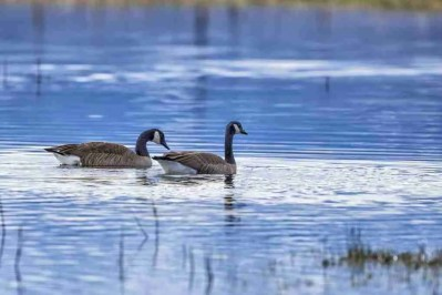 Print of Geese Swimming in a Flood Irrigated Carson Valley Field Photo