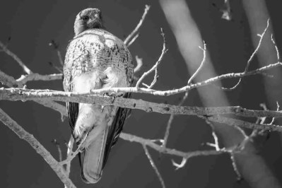 Print of a Red-Tailed Hawk Sitting in a Tree Photo