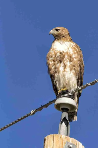Photo of a Red-Tailed Hawk