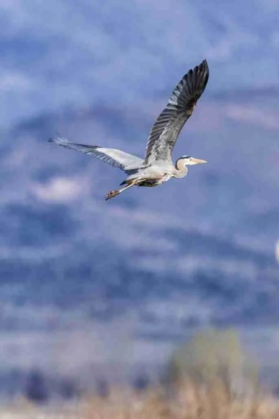 Photo of a Great Blue Heron in Flight