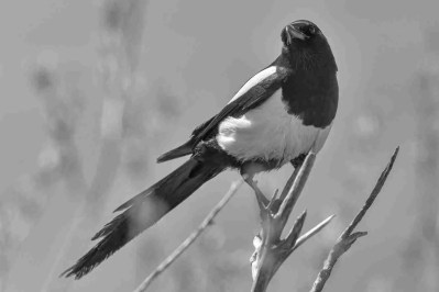Print of a Black Billed Magpie Bird Posing