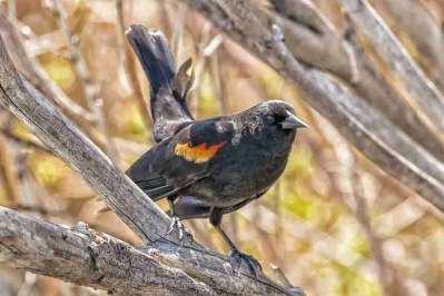 Print of a Red-Winged Blackbird Posing