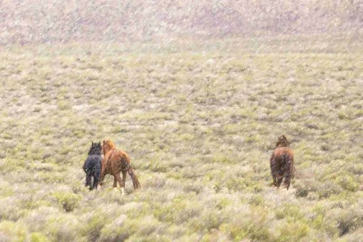 Print of Three Wild Nevada Mustangs on the Plains