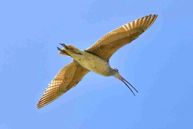Print of a Long-Billed Curlew Flying High