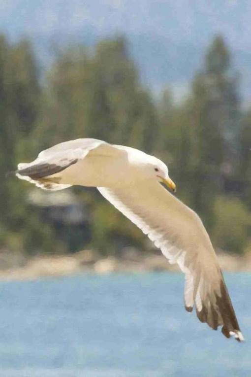Print of a Seagull at Lake Tahoe