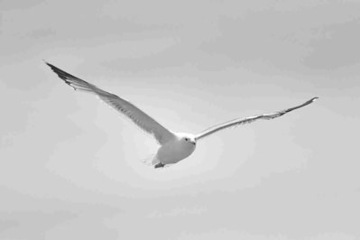 Print of a White Seagull Flying