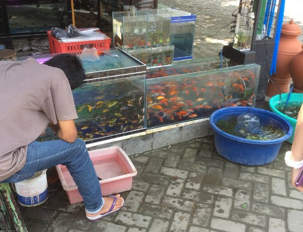 鯉や金魚、小魚など