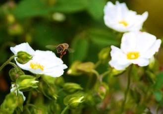 Lune de miel - Abeille sur ciste - Canon EOS 50D – 300 mm – f/2,8 – 1/500s – 100 ISO