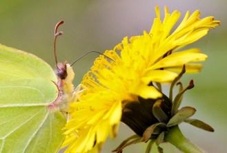 Open bar - Citron (Gonepteryx rhamni) sur crépide bisannuelle (Crepis biennis) - Canon EOS 50D – 420 mm – f/5,0 – 1/800s – 320 ISO