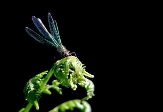 Maison hantée - Calopteryx sur filicophyte - Canon EOS 50D – 420 mm – f/8,0 – 1/800s – 1250 ISO